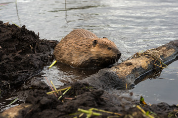 A large beaver working on its dam