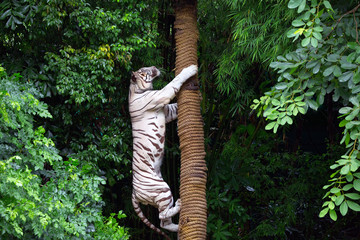 White tigers are climbing trees in the forest atmosphere.