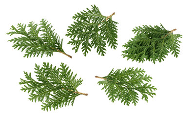 Branch of thuja isolated on white without shadow Wall mural