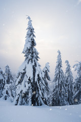 Wall Mural - Snowfall in the fir forest