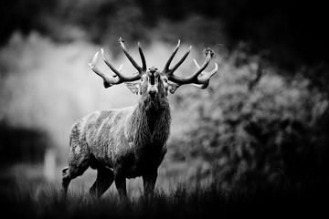 Photo sur Toile Cerf cerf brame chasse cervidé cor animal roi forêt combat sauvage défier intimidation impressionnant mâle reproduction monocrhome noir et blanc