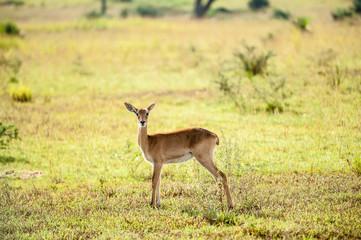 Impala, Uganda, Murchison Falls National Park, Africa