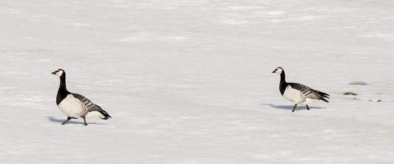 Bernache nonnette, .Branta leucopsis, Barnacle Goose