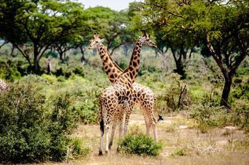 Giraffa, Murchison Falls National Park; Uganda, Africa