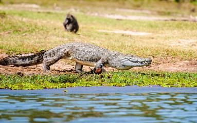 Coccodrillo al Murchison Falls National Park, Uganda, Africa