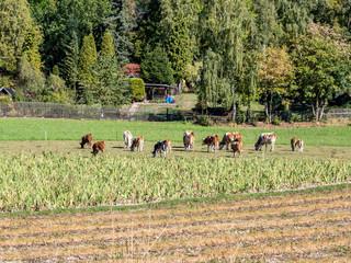 Kühe Freilandhaltung