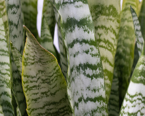 Leaves of sansevieria