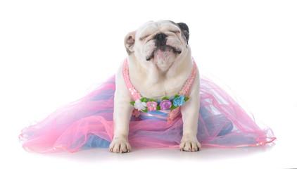adorable female bulldog