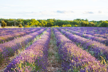 Printed roller blinds Lavender Lavender fields near Valensole in Provence, France.
