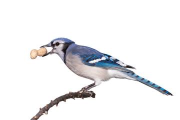 Bluejay Eats a Peanut on a Brancg