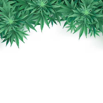Cannabis or Marihuana leaves background. Realistic vector illustration of the plant in top view on white background.