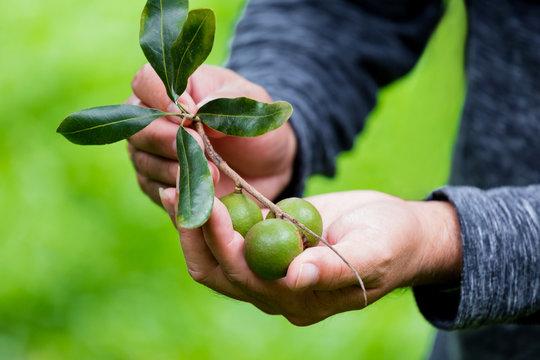 macadamia nut on hand