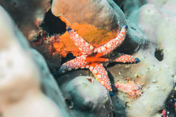 red and white Fromia starfish found underwater in Similan island,  Thailand 2018