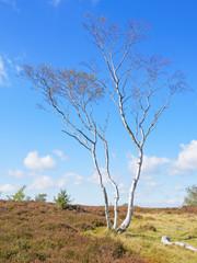 Single Silver Birch on Stanton Moor