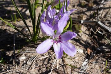 Flower of babiana bulb