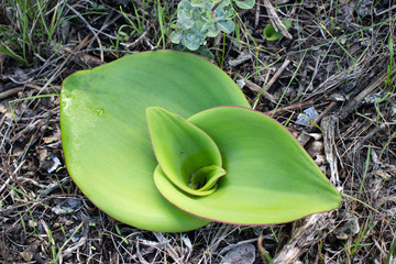 Emerging leaves of terrestrial orchid