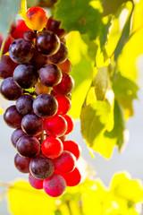 Wall Mural - uva rossa
