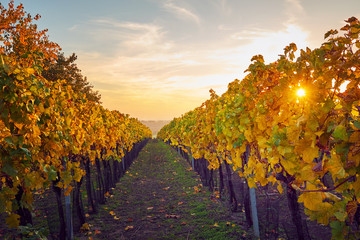 Colorful vineyard with sunbeams in autumn
