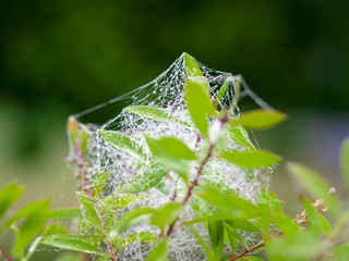 Toile d'araignée ou fils de la vierge