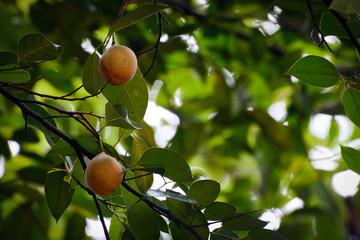 Fototapeta Fruits hanging on a fragrant nutmeg tree, scientific name Myristica fragrans obraz