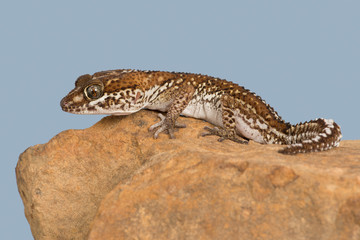 Ocelot Gecko (Paroedura pictus)/Madagascar Ground Gecko basking on rock
