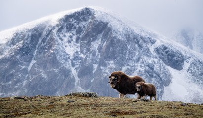 Musk ox (Ovibos moschatus) with calf in autumn landscape in Dovre national park, Norway