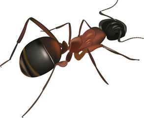 formica rossa in primo piano