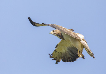 Fototapete - Red-tailed Hawk in Flight