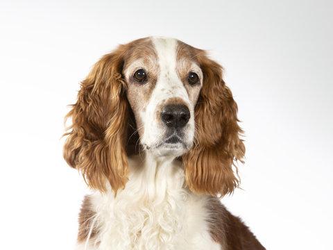 Welsh Springer Spaniel dog portrait, image taken in a studio with white background