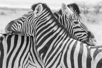 Keuken foto achterwand Zebra Africa: Namibia etosha
