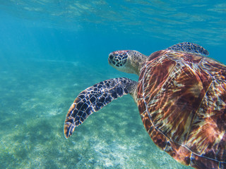 Sea turtle in tropical seashore, underwater photo of marine wildlife. Snorkeling with sea turtle.