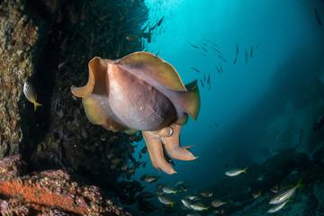 A Giant Cuttlefish