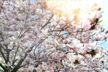 Magnolia tree in early spring bloom on Paris street with majesti sunlight flare, spring in France