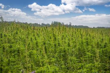 fields of industrial hemp in Estonia