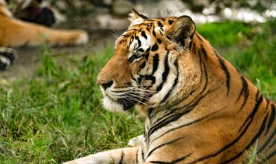Tiger up close portrait.