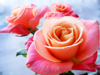 Beautiful pink rose on clear background. The ability to please the beauty.