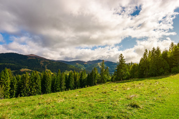 beautiful Carpathian landscape in early autumn. spruce forest on a grassy hill. top of the distant mountain ridge in clouds