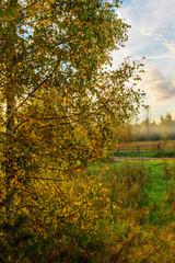 birch foliage at sunrise