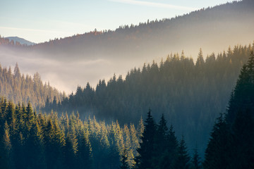 wonderful autumn weather with fog over the spruce forest. mysterious scenery in mountains