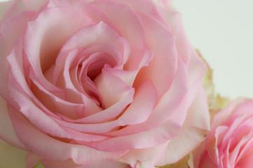 rose de couleur blanche et rose en studio en plan rapproché en vue horizontale