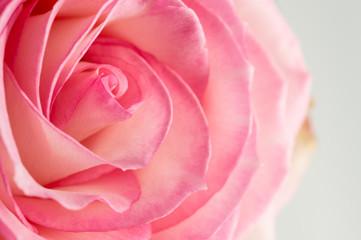 rose de couleur rose et blanche en gros plan avec lumière forte en vue horizontale en studio de profil
