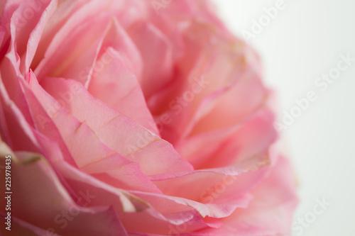 fleur de couleur rose et blanche vue horizontale avec une forte ...