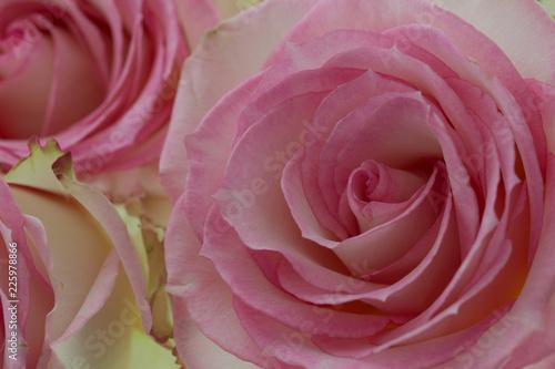 rose fleur de couleur rose et blanche en gros plan avec lumière ...