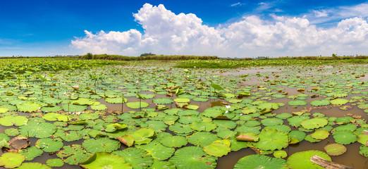 Lotus farm in Cambodia
