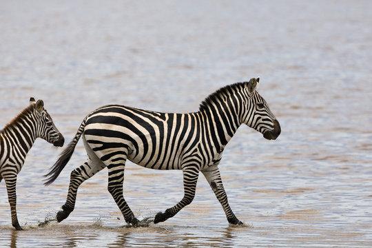 Zebras in the Serengeti National Park, Tanzania