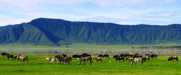Obraz Wildebeests in the Ngorongoro Crater, Tanzania - fototapety do salonu