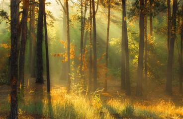 walk in the autumn forest. Morning. Sunlight. Sun rays.