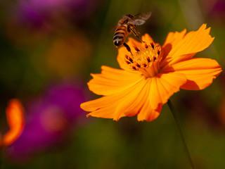 コスモスから飛び立つ蜂