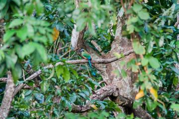 Turquoise-browed motmot (Eumomota superciliosa), the national bird of El Salvador. National park El Imposible, El Salvador