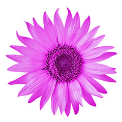 flower magenta sunflower, isolated on a white  background. Close-up.  Nature.